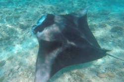 Maldives holiday - manta