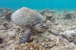 Maldives holiday - sea turtle